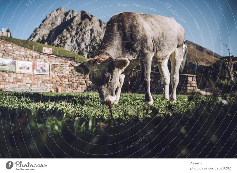 South Tyrolean cow Vacation & Travel Mountain Hiking Environment Nature Landscape Cloudless sky Summer Beautiful weather Rock Alps Farm animal Cow To feed Stand