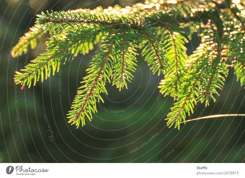 Fir branch with light band Environment Nature Plant Autumn Beautiful weather Wild plant Fir needle Fir tree Coniferous trees Forest Glittering Yellow Green
