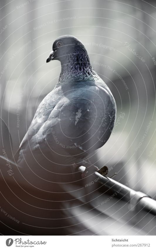 pigeon blue Roof Eaves Animal Bird Pigeon 1 Blue Dove gray Grating Eyes Beak Departure Feather Stripe Looking Blue tint Colour photo Subdued colour