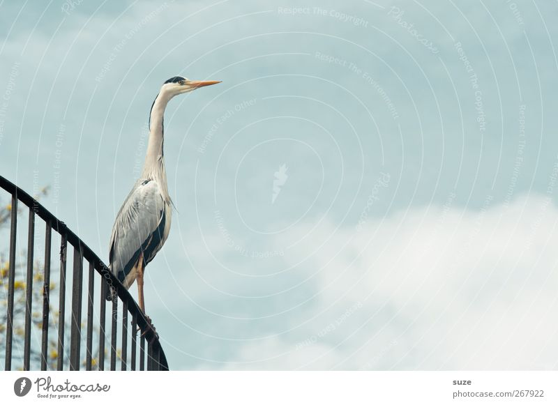 As you can see ... Environment Animal Elements Air Sky Clouds Summer Beautiful weather Wild animal Bird 1 Stand Wait Thin Elegant Natural Curiosity Heron