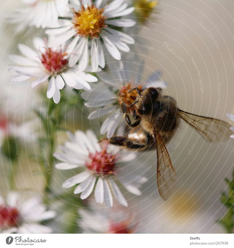 flower meal Environment Nature Autumn Flower Blossom Aster Flowering plants Animal Bee Insect Living thing Wing Feeler 1 Blossoming To feed Crawl Near White