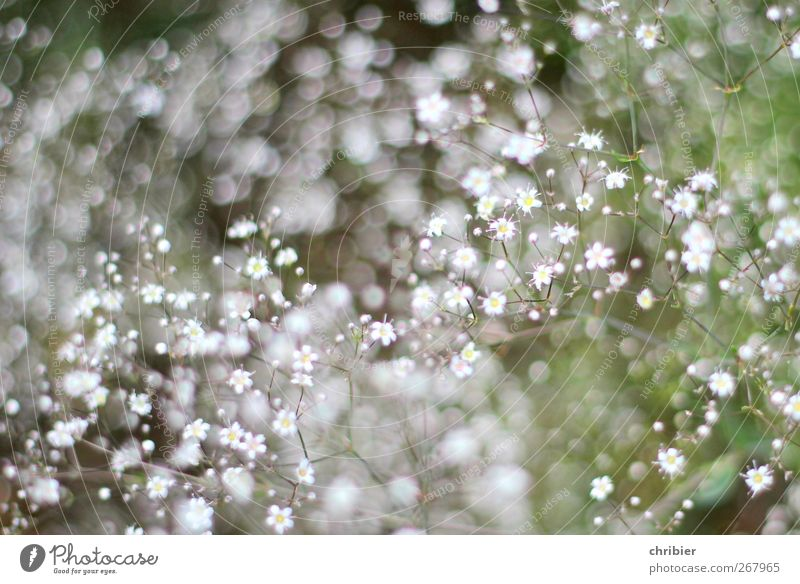 speckles of flowers Nature Plant Flower Baby's-breath Garden Blossoming Glittering Growth Fragrance Small Near Many Gray Green White Exterior shot Close-up