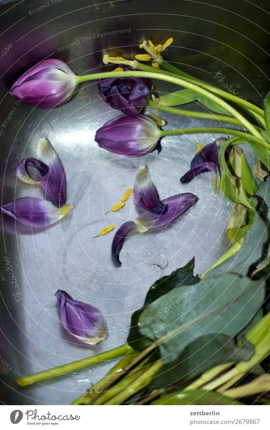 tulips Trash Biogradable waste Flower Bouquet Blossoming Deserted Copy Space Faded Throw away Broken Limp Water Float in the water Basin Sink Gift Stalk Leaf