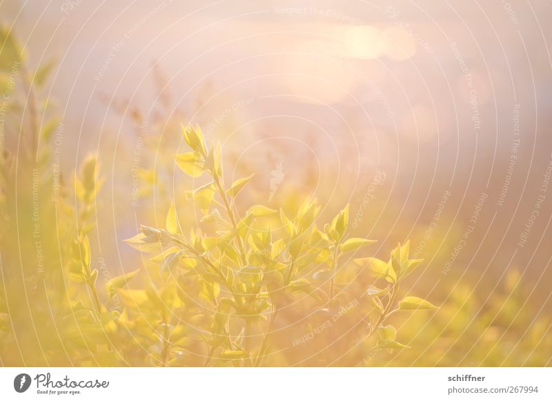 Nature Green Plant Sun Leaf Calm Yellow Spring Gold Bushes Delicate Easy Double exposure Smooth Foliage plant Pastel tone