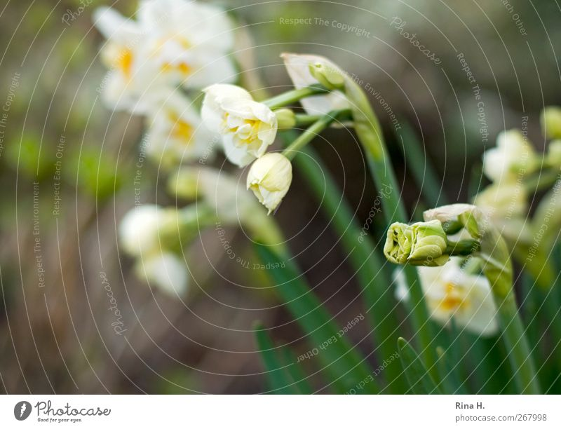 Nature White Green Plant Environment Yellow Spring Garden Bright Beginning Blossoming Bud Anticipation Wake up Spring fever Narcissus