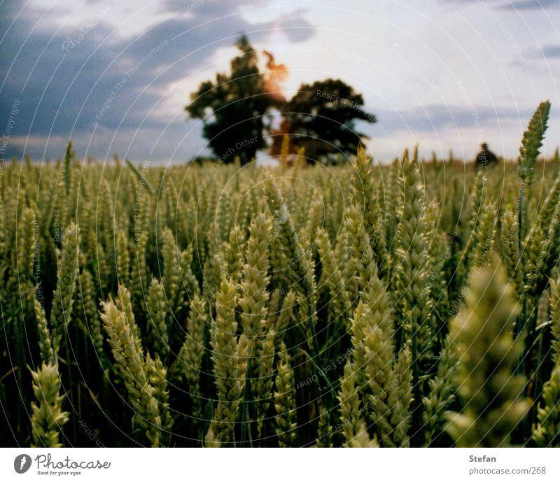 harvest time Field Tree Grain Harvest Evening Babisnauer Poplar