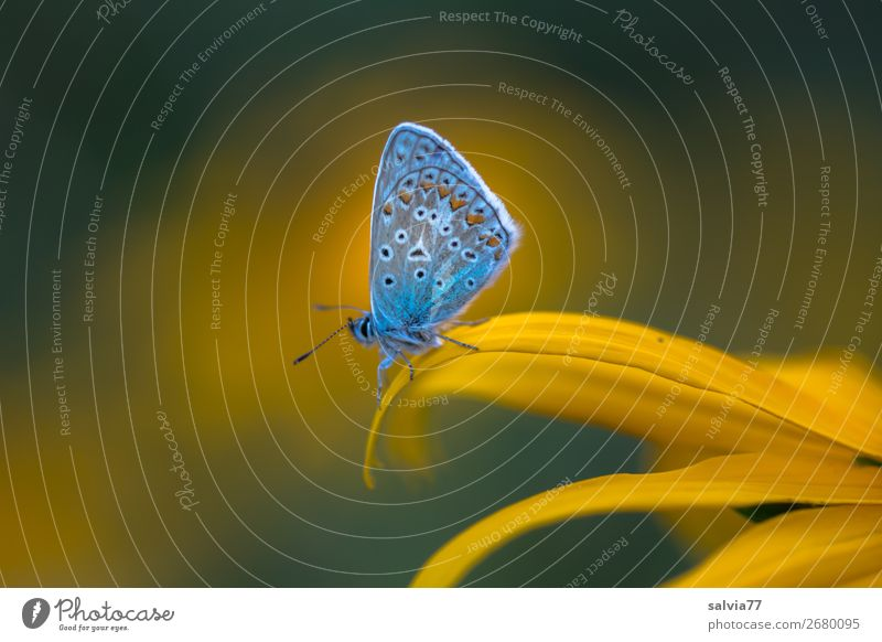 blue Environment Nature Summer Flower Blossom Sunhat Garden Animal Butterfly Polyommatinae Insect 1 Blossoming Fragrance Happy Idyll Ease Break Calm