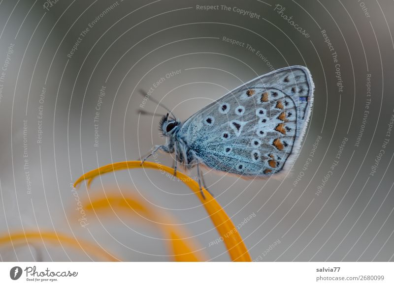 resting place Environment Nature Plant Animal Summer Flower Blossom Garden Butterfly Wing Insect Polyommatinae 1 Esthetic Cute Above Blue Gray Uniqueness Idyll
