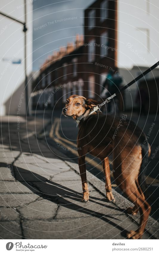 Nice dog portrait Lifestyle Style Summer Animal Village Small Town Building Architecture Street Pet Dog 1 Athletic Authentic Thin Cute Beautiful Brown City