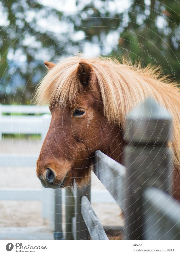 Icelandpony looks over fence Equestrian sports riding arena Agriculture Forestry Environment Nature Plant Tree Animal Farm animal Wild animal Horse Animal face