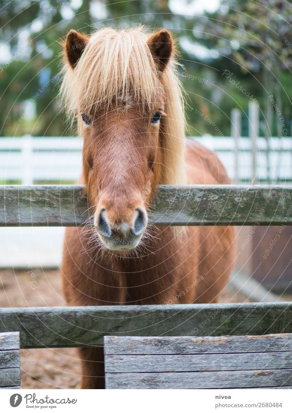 Icelandic horse looks over fence Equestrian sports Agriculture Forestry Environment Nature Plant Flower Animal Farm animal Wild animal Horse Pelt Mane 1 Fence