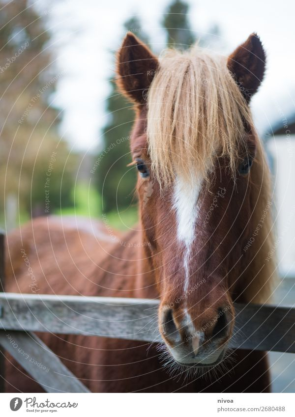 Icelander fox looks over fence Equestrian sports Agriculture Forestry Environment Nature Landscape Animal Plant Tree Mountain Village Farm animal Wild animal
