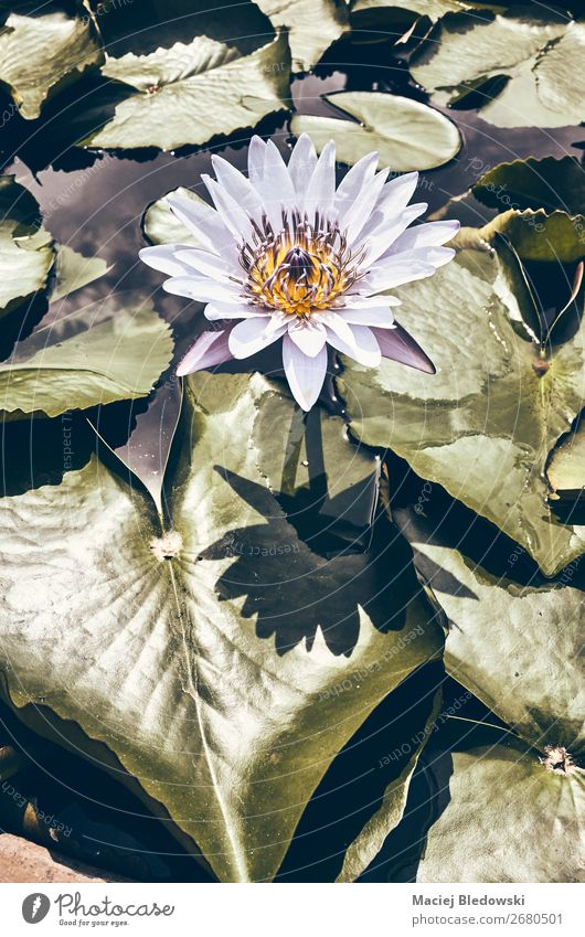 Color toned picture of a water lily blooming. Summer Garden Nature Plant Flower Leaf Blossom Pond Lake Natural Retro Uniqueness Nostalgia Calm Senses Moody