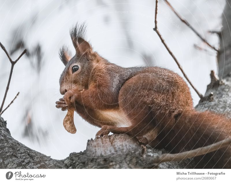 Nibbling squirrel in a tree Nutrition Nature Animal Sunlight Beautiful weather Tree Wild animal Animal face Pelt Claw Paw Squirrel Eyes Ear Tails 1 To feed