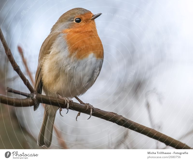 Redthroat Portrait Nature Animal Sky Sunlight Beautiful weather Tree Wild animal Bird Animal face Wing Claw Robin redbreast Eyes Beak Feather 1 Observe
