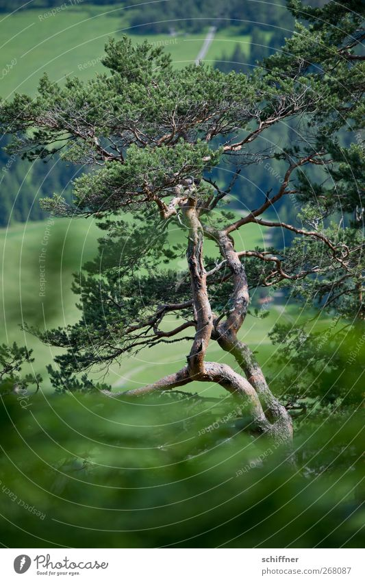 Swiss stone pine Nature Plant Tree Bushes Foliage plant Agricultural crop Meadow Forest Alps Green Pine Coniferous trees Old Headstrong Dark green Forestry Wood