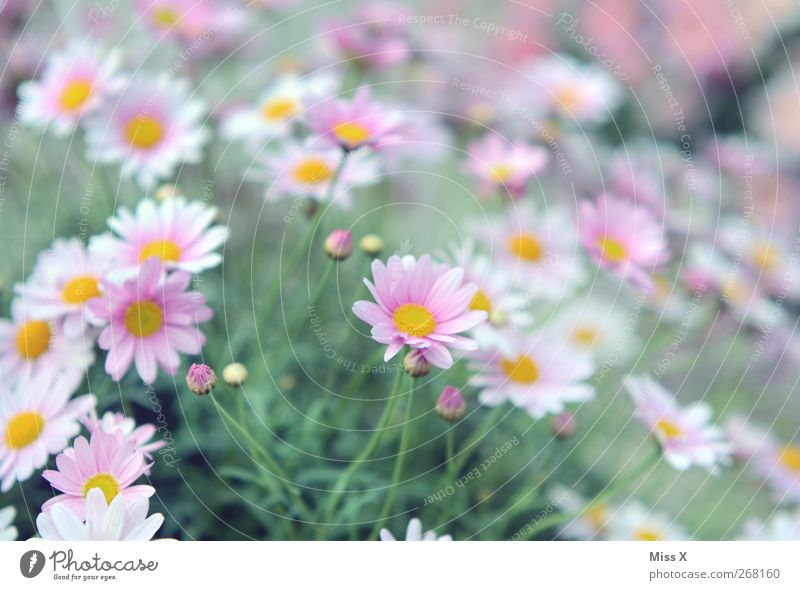 sea of flowers Nature Plant Spring Summer Flower Bushes Blossom Garden Blossoming Fragrance Pink Spring flower Marguerite Colour photo Exterior shot Close-up