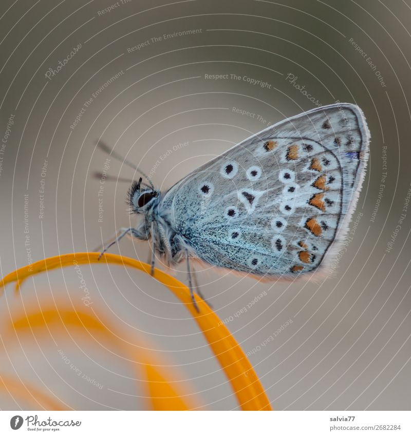 Blue with beautiful wing pattern sitting with closed wings on a yellow petal Nature Butterfly blue butterflies lepidoptera Blossom leave Gray Yellow macro
