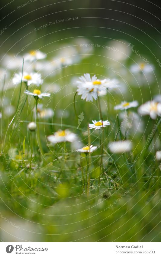 Daisy No. 2 Garden Nature Plant Spring Summer Grass Meadow Dream relaxation Gardening Lawn Yellow Green White blurred Colour photo Exterior shot Copy Space top