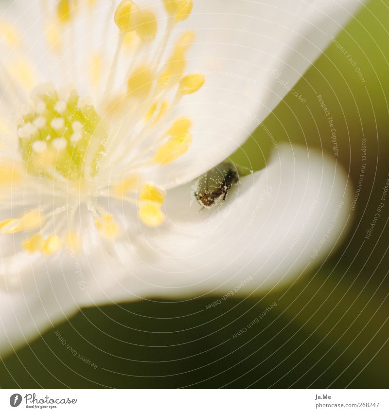 hide and seek Plant Spring Flower Blossom Wood anemone Animal Beetle 1 Yellow Green Colour photo Exterior shot Macro (Extreme close-up) Day