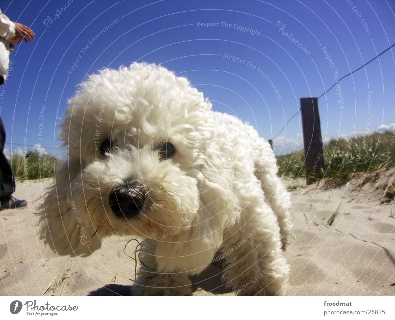 Dog Sky Summer White Animal Beach Eyes Warmth Grass Coast Hair and hairstyles Sand Dirty Nose Cute Sweet