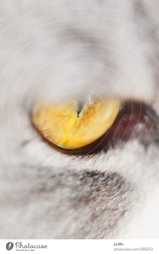 Cat Animal Yellow Curiosity Animal face Pet Cuddly Macro (Extreme close-up) Cat eyes