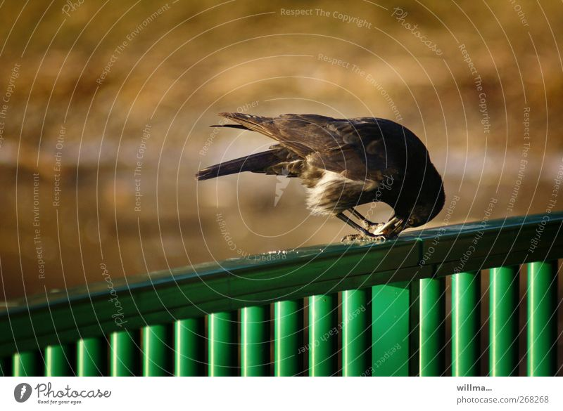 Crow on green fence while eating Bird Raven birds Carrion crow To feed Feeding Astute Curiosity Concentrate Fence Smart Dexterity Beak Deserted Copy Space