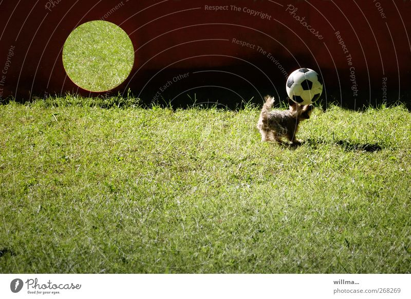 Snapshot, little dog with football Ball sports Header Foot ball Goal Meadow Animal Dog Yorkshire terrier Playing Sports Romp Funny Cute Speed Athletic Effort