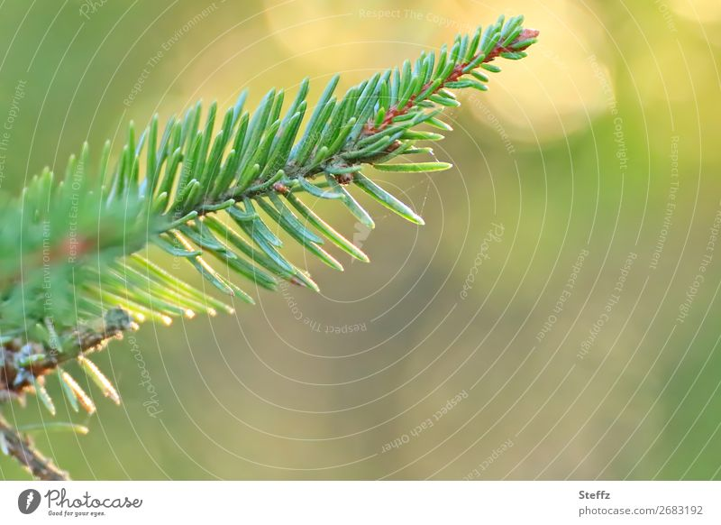 fir scent Nature Plant Autumn Beautiful weather Wild plant Fir branch Fir needle Fir tree Coniferous trees Twig Forest Fragrance Growth Yellow Green