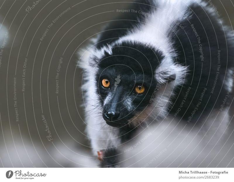 In view Nature Animal Sunlight Beautiful weather Wild animal Animal face Pelt Variegated Lemur Half-apes Monkeys Eyes 1 Observe Glittering Illuminate Looking