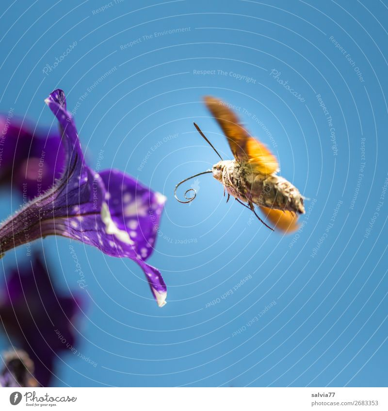 petrol station Environment Nature Sky Cloudless sky Sun Summer Flower Blossom Petunia Garden Animal Butterfly Wing Insect dovetails 1 Blossoming Flying Movement