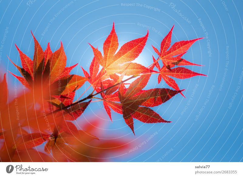 a sunny day Environment Nature Plant Sky Cloudless sky Sun Autumn Climate Beautiful weather Tree Bushes Leaf Twigs and branches Maple leaf Rachis