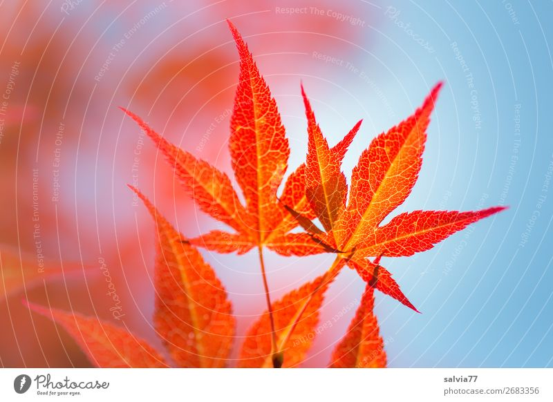 bright orange Environment Nature Plant Air Sky Summer Autumn Tree Bushes Leaf Maple tree Autumnal colours Japan maple tree Garden Park Illuminate Warmth Blue