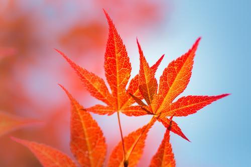 bright orange Environment Nature Plant Air Sky Summer Autumn Tree Bushes Leaf Maple tree Autumnal colours Japan maple tree Garden Park Illuminate Warmth Blue
