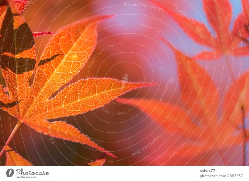 Looking forward | to autumn leaves Autumn Bright Colours Autumn leaves Autumnal colours Nature flaked Maple leaf Plant Maple tree Back-light Rachis