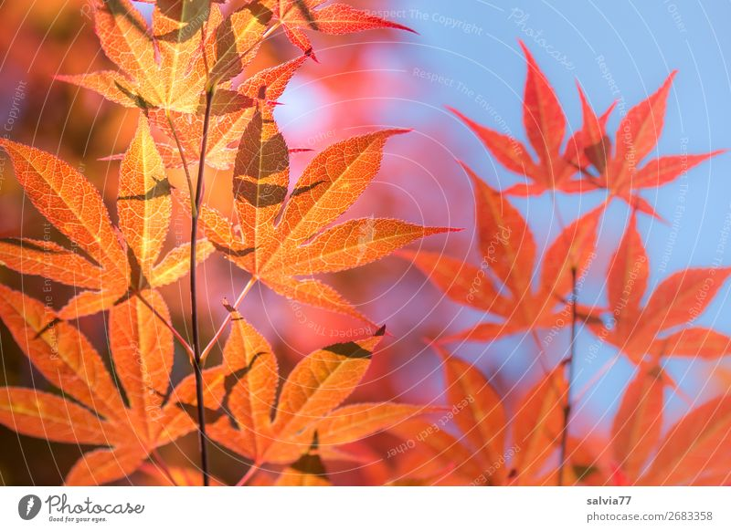 glowing maple leaves Nature Maple leaf Autumn Tree Autumnal twigs and branches Autumnal colours Sky Twigs and branches Autumn leaves Sunlight Orange-red