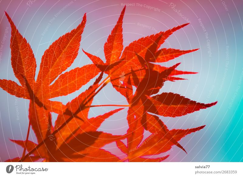 shadow play Nature Autumn Plant Tree Bushes Leaf Maple tree Autumnal colours Twigs and branches Illuminate Warmth Blue Orange Red Colour Contrast Colour photo
