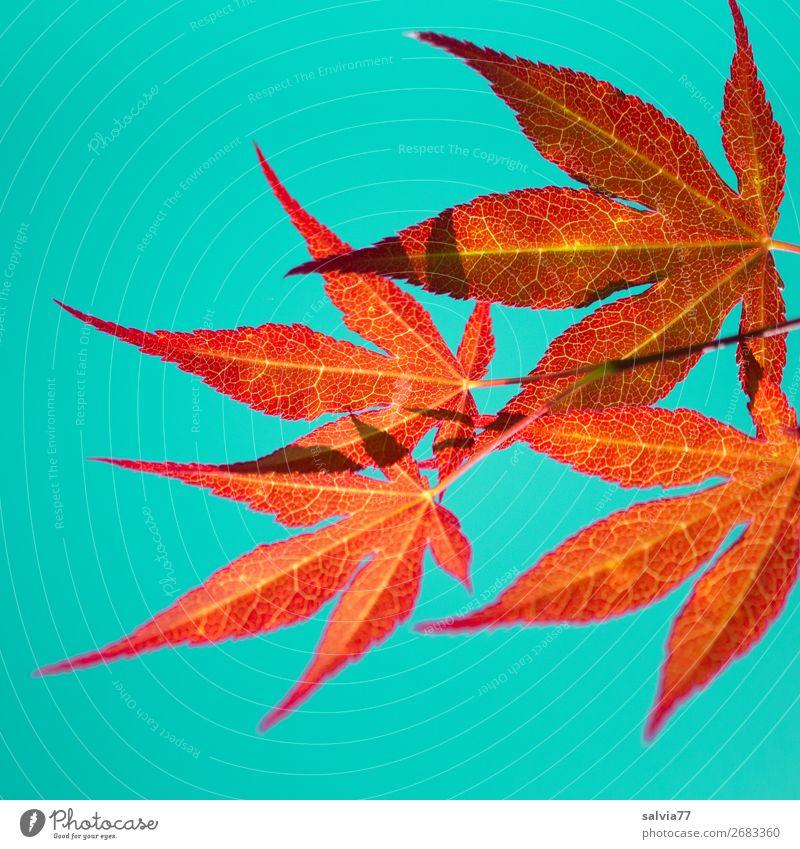 Luminous leaves Environment Nature Plant Autumn Leaf Maple leaf Autumnal colours Twig Rachis Illuminate Orange Turquoise Colour Colour photo Exterior shot