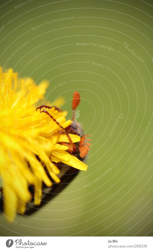 Green Animal Yellow Blossom Wild animal Dandelion Beetle May bug
