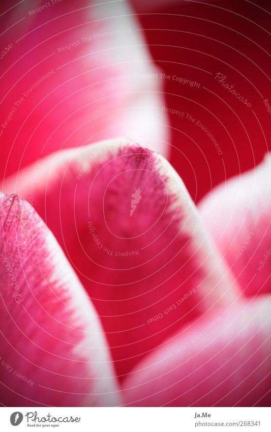 Tulip in detail Plant Blossom Tulip blossom Pink Red Colour photo Exterior shot Detail Macro (Extreme close-up) Day