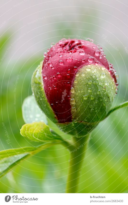 Peony bud with water drops Harmonious Calm Drops of water Rain Plant Flower Blossom Garden Park Fresh Wet Green Red Bud Spring Growth Renewal Colour photo