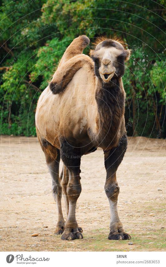 Camel Zoo Nature Animal Wild animals Bactrian camel beast of burden domestic animal fauna hoofed hump Mammal Pack animal two-humped ungulate wildlife