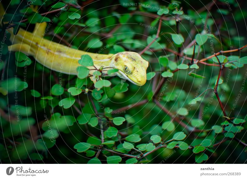 gecko Animal 1 Yellow Green Adventure Elegant Exotic Colour Life Nature Vacation & Travel Calm Bushes Watchfulness Wait Observe Gecko Sit Hide Colour photo