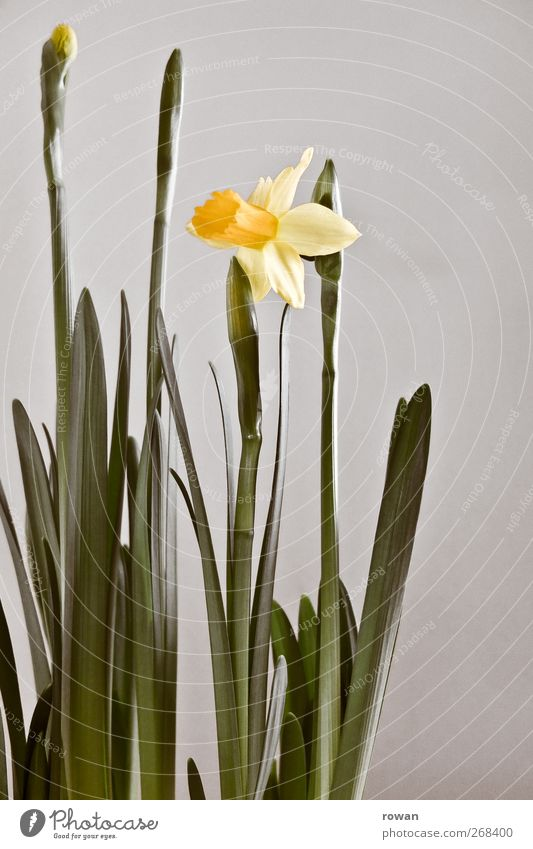 Green Beautiful Plant Flower Yellow Spring Blossom Growth Decoration Delicate Blossoming Narcissus