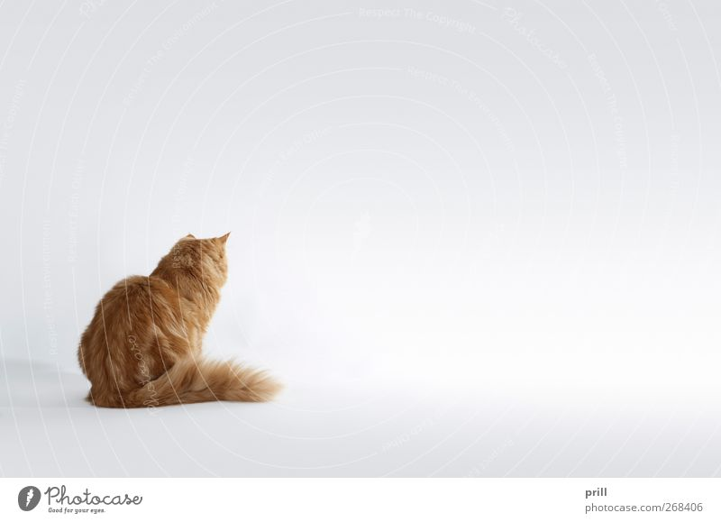 Cat Red Joy Animal Calm Relaxation Small Baby animal Brown Wait Sit Back Cute Soft Idyll Pelt