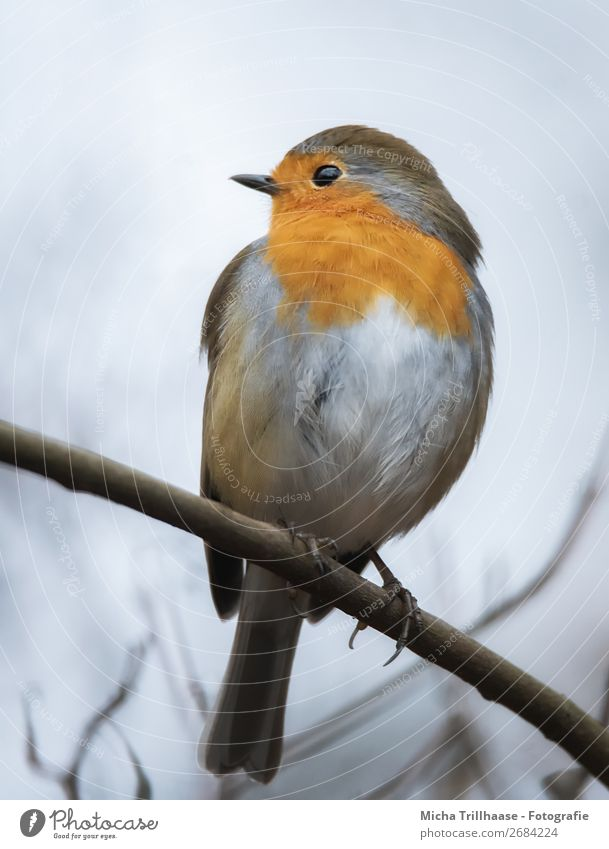 Robin on a branch Nature Animal Sky Sunlight Beautiful weather Tree Branch Twig Wild animal Bird Animal face Wing Claw Robin redbreast Feather Beak 1 Observe