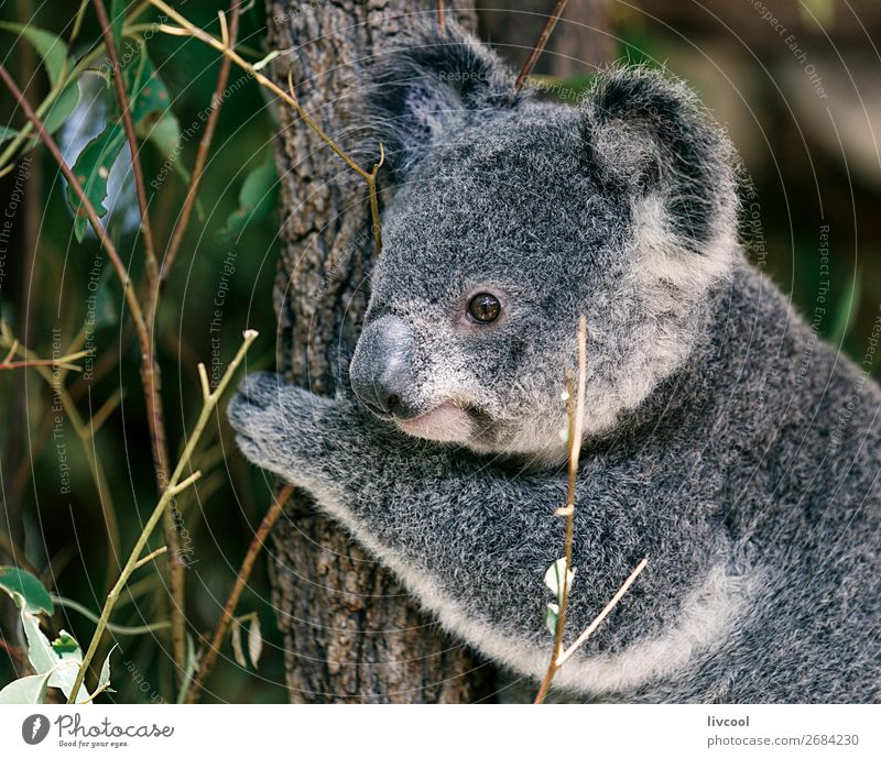 nice koala, brisbane Vacation & Travel Trip Adventure Family & Relations Group Nature Animal Tree Leaf Forest Wild animal 1 Sleep Friendliness Cute Gray