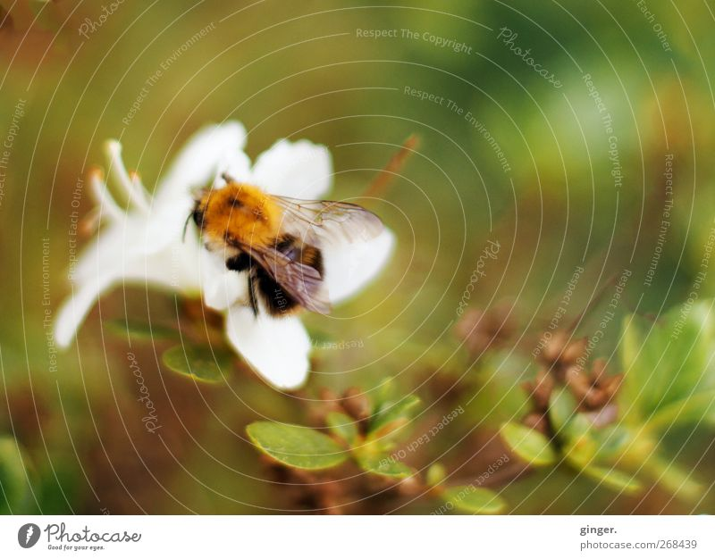 Nature Green Plant Flower Leaf Animal Environment Spring Small Blossom Bushes Wing Beautiful weather To hold on Delicate Bee