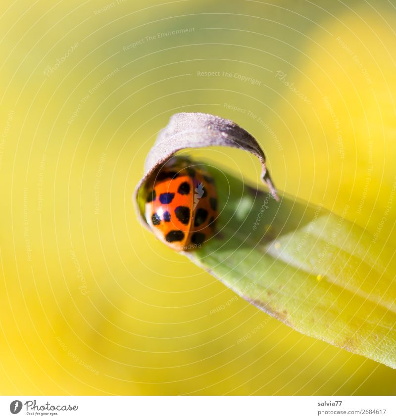Take cover! Environment Nature Plant Animal Summer Flower Leaf Beetle Ladybird Insect 1 Warmth Yellow Protection Colour photo Exterior shot