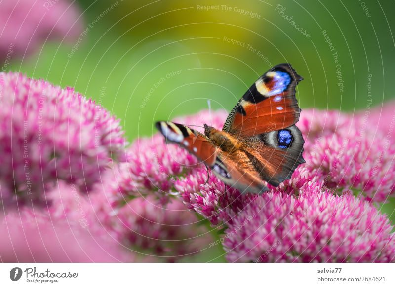 look up Environment Nature Summer Plant Flower Blossom Wild plant Sedum Garden Animal Butterfly Wing Peacock butterfly Insect 1 Blossoming Fragrance Ease Eyes